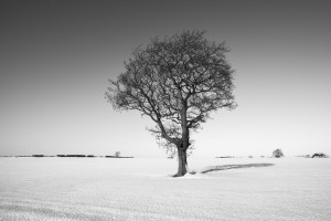 Single tree on snow field Northumberland