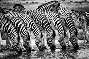 Six Zebra drinking in Etosha National Park, Namibia