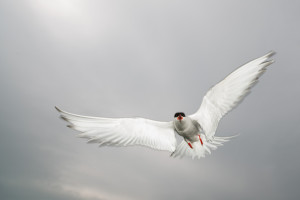 Artic Tern on the attack in Farne Islands