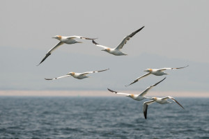 Gannets in flight near Farne Islands