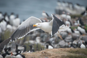 Great Black-backed Gull in flight on Farne Islands