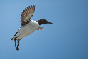 Guillemot in flight on Farne Islands