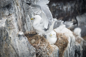 Kittiwake in Flight onto nest with egg on cliff in Farne Islands