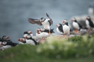 Puffin Landing in Farne Islands
