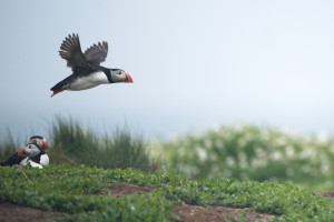 Puffin in Flight on Farne Islands