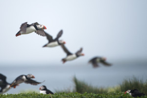 Puffins in Flight on Farne Islands