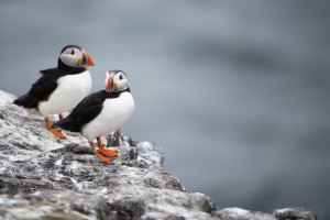 Puffins on Farne Islands
